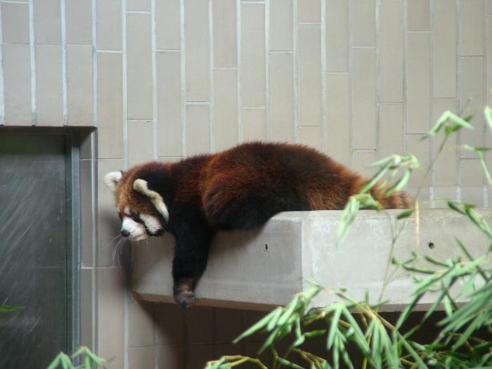DSCF5135 Red Panda Ueno Zoological Gardens